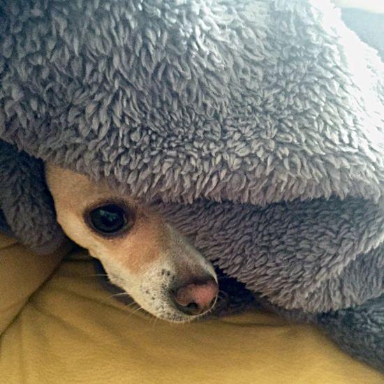 It's Cold Outside Hello World Popular Photos EyeEm Gallery The Week Of Eyeem EyeEmBestPics Iphone 6 Plus I Love My Dog Chihuahua Dog Blancket