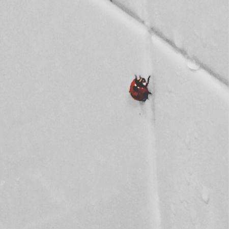 お風呂にてんとう Ladybeetle In The Bathroom