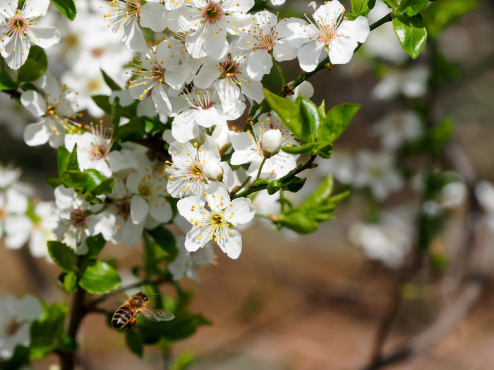 Close-up of cherry blossoms on tree