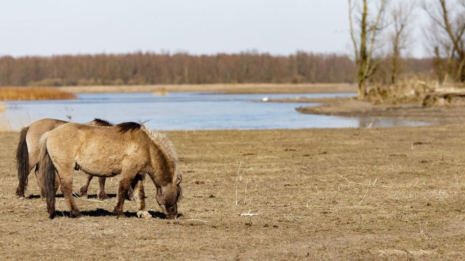 Konik Horses Mammal Animal Themes Nature One Animal No People Day Outdoors Beauty In Nature
