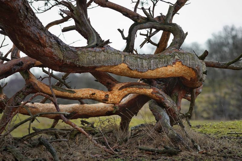 bark eaten by deer Tree Dunes Of Holland Tree Plant Nature Day Animal No People Animal Themes Branch