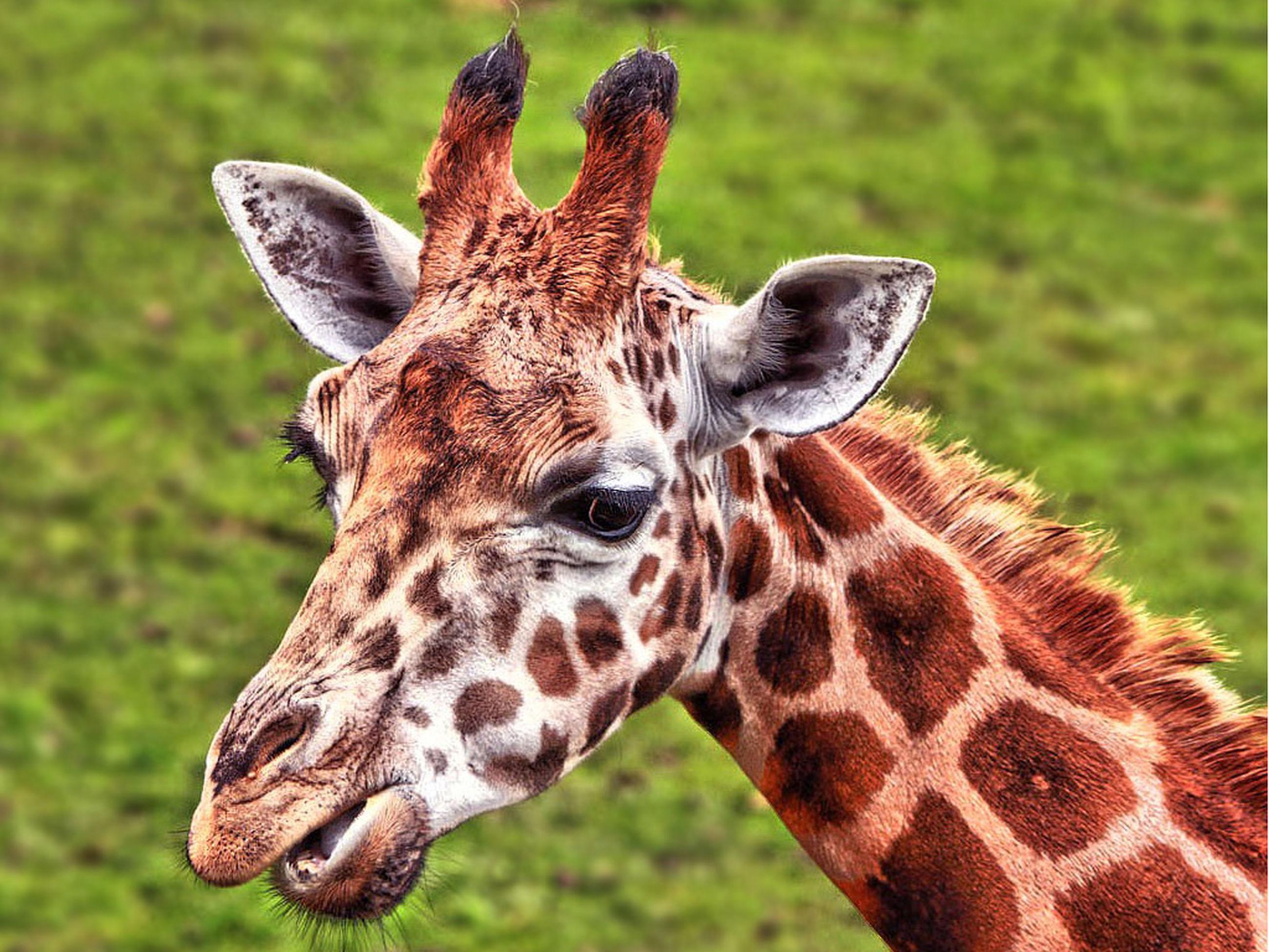 one animal, giraffe, animal wildlife, animal body part, animal head, animals in the wild, animal themes, safari animals, outdoors, mammal, day, portrait, close-up, grass, looking at camera, no people, animal markings, nature