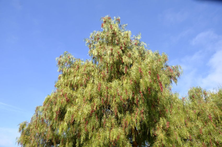 Beauty In Nature Fruitful Fruits Green Color Growing Growth Lush Foliage Plant Tree Lake Elizabeth Fremont California