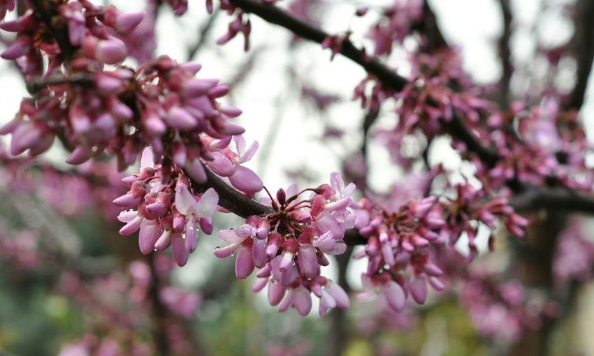 Erguvan Erguvan / Judas Tree Trees Blossoming  Spring Flower Trees Noedit Nofilter