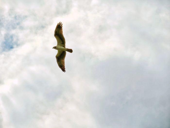Hawk in flight against Florida sky Hawks Of Eyeem Flying Bird Mid-air Sky Cloud - Sky Bird Of Prey Hawk - Bird Hawk Spread Wings