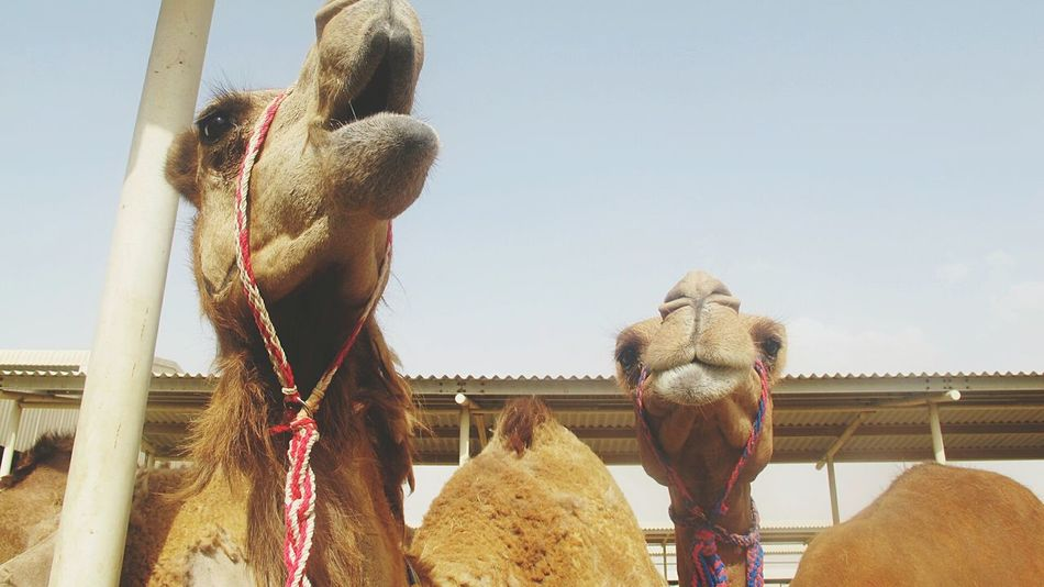 Animal_collection Animals Camels Magnificent Magnificent Creature Hi! Beautiful
