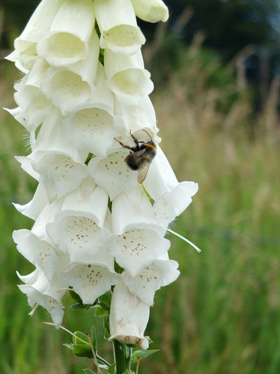 what foxglove in nature with bee Animal Themes Animals In The Wild Beauty In Nature Bee Blooming Close-up Day Flower Flower Head Focus On Foreground Foxglove Fragility Freshness Growth Insect Nature No People Outdoors Petal Plant White Color White Foxglove