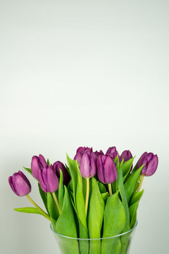a vase with some fresh Tulips Beautiful Freshness Green Isolated Nature Plant Tulips Vase Blooming Bouquet Bunch Flora Flower Purple Space Spring Vase Of Flowers White White Background