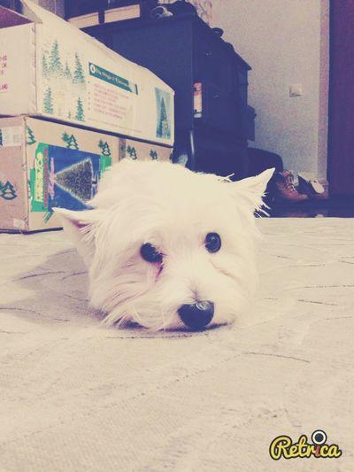 My pretty westy Basia :) Happy Dog Dog I Love My Dog West Highland White Terrier