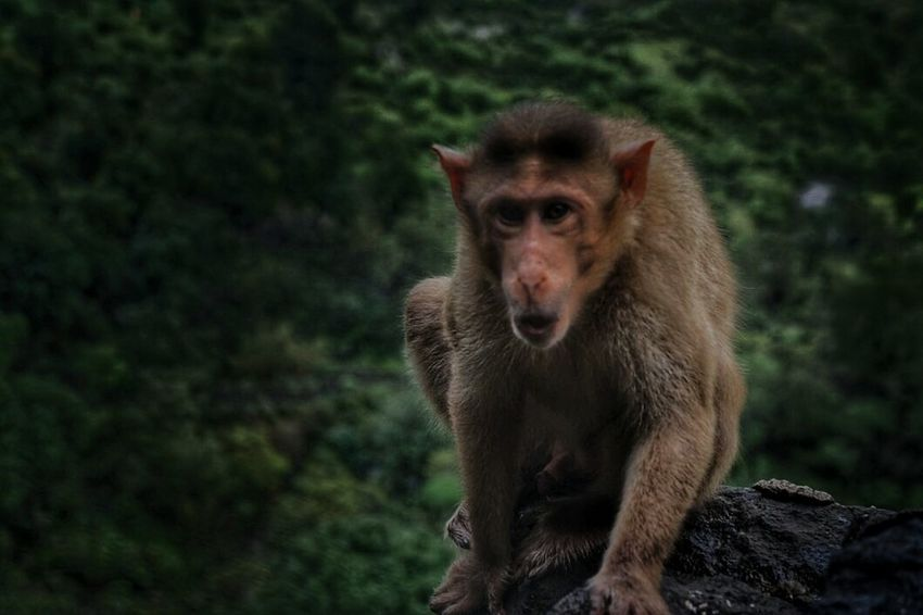 Monkey Animal Monkey Nature_collection Trekking Trimbakeshwar Monkey Forest