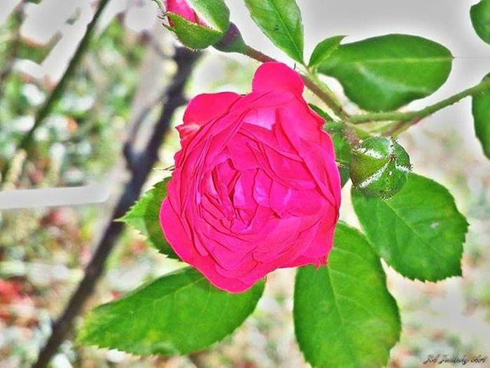 Estoes_flores Rosa Estoes_leon Estaes_castillaleon Estaes_espania Estaes_europa Estaes_de_todo Igersleonesp