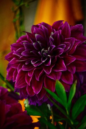 Flowering Plant Flower Beauty In Nature Freshness Petal Plant Close-up No People Dahlia Springtime Pink Color Focus On Foreground Blossom Purple Nature Flower Head Growth Inflorescence Vulnerability  Fragility