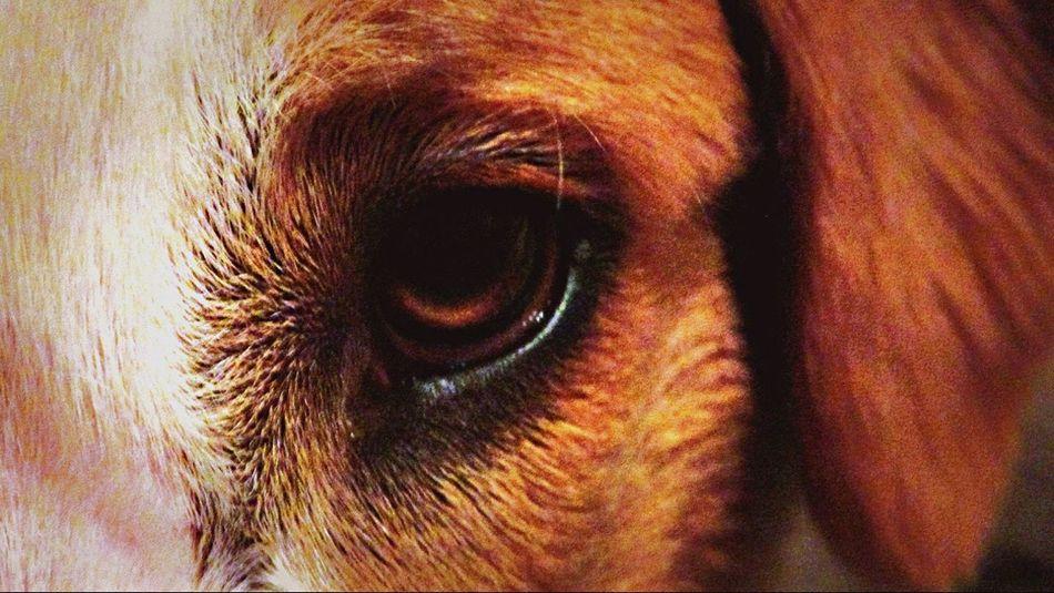English Shepherds Dogs Eyes Close-up