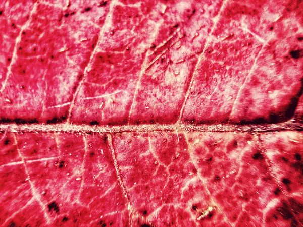 Red leaf Full Frame Backgrounds No People Red Textured  Close-up Pattern Nature Detail