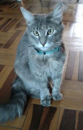 Domestic Cat Indoors  Pets Looking At Camera Feline