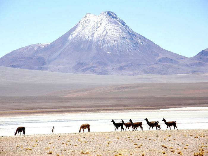 Llamas on field against mountains