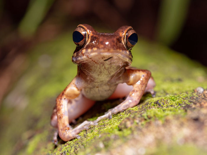 Brown Marsh Frog (Pulchrana baramica) in Bako National Park, Borneo One Animal Animal Themes Animal Close-up Frog Animals In The Wild Amphibian Animal Wildlife Front View Outdoors Brown Moss Nature Selective Focus Animal Eye Brown Marsh Frog Pulchrana Baramica Borneo Bako Bako National Park Rainforest Tropical Jungle Marsh