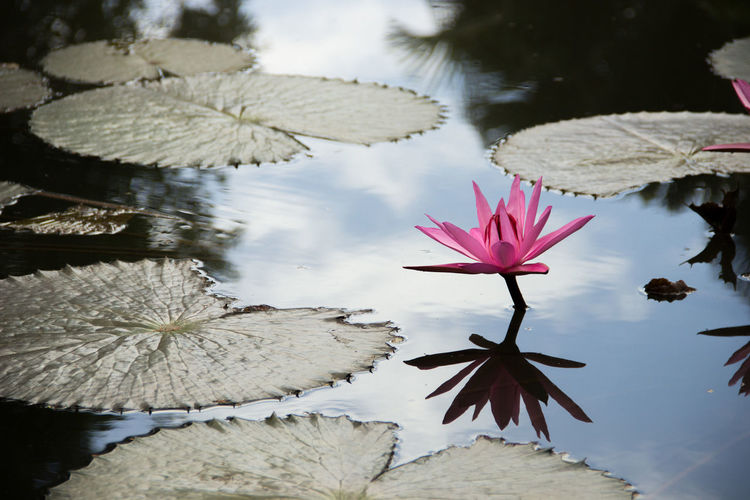 Beautiful Beauty In Nature Close-up Flower Flower Head Growth Lake Leaf Lotus Lotus Water Lily Mauritius Nature No People Plant Reflection Rosa Water Water Lily