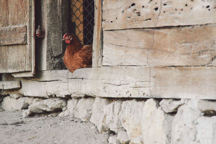 Hen sitting on doorway of barn