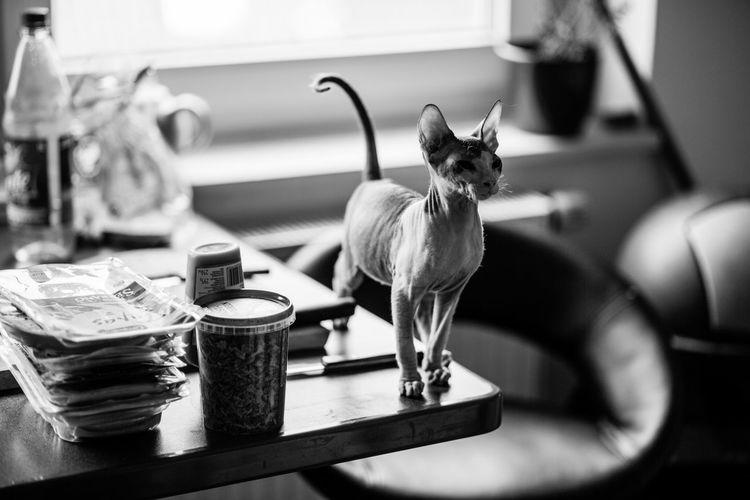 Animal Blackandwhite Cat Domestic Animals Food Lovely Monochrome Photography Sphynx