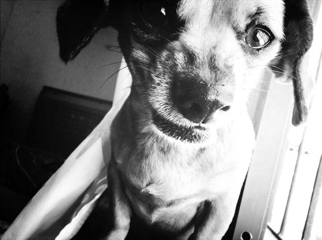 My Dog Cheweenie Maddog