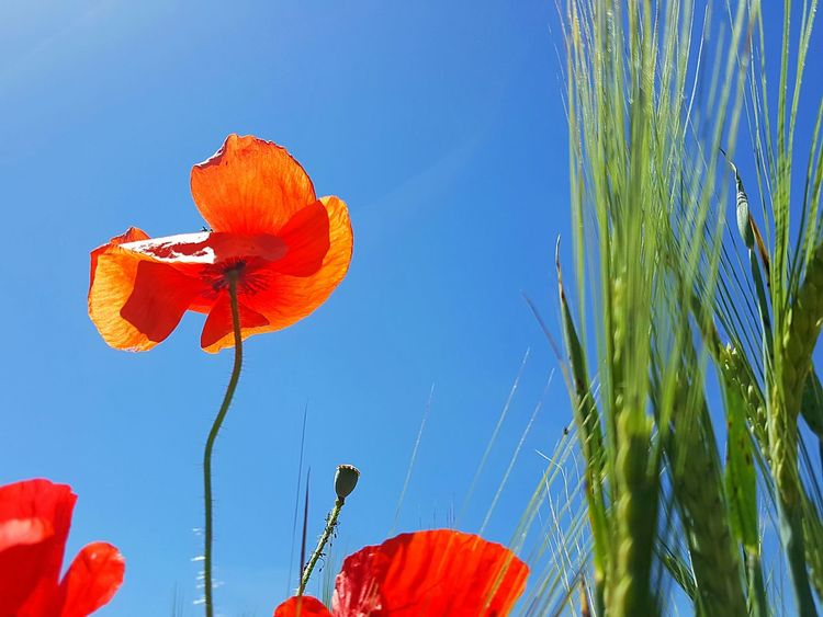 Red And Blue Poppy Flowers Poppy Field Flowers Spingtime Spring Summertime Summer Flower Low Angle View Blue Sky Red Plant Nature Outdoors Day Fragility Growth Clear Sky Beauty In Nature Close-up Flower Head Freshness