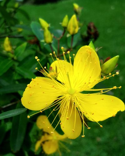 Flower Yellow Nature Plant Fragility Leaf Beauty In Nature Green Color No People Close-up Outdoors Day Growth Freshness Water Flower Head