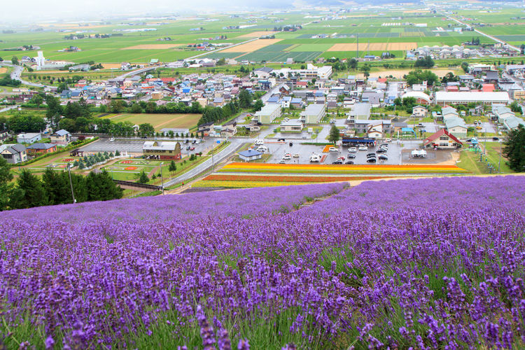 Taken in the middle of summer as springs into bloom. This photo was taken at the top of a steep hill, with lavender flowers everywhere, looking down towards Furano downtown and the fields surrounding it. Beauty In Nature Colors Countryside Day Eye4photography  EyeEm Best Shots EyeEm Nature Lover First Eyeem Photo Flowers Growth Hello World Nature Outdoors Season  Showcase: November Summer Tranquil Scene Tranquility Travel Traveling Furano Hokkaido The Great Outdoors With Adobe Ultimate Japan