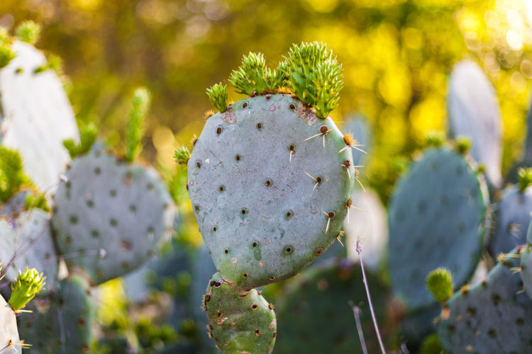 Prickly pear cactus with new paddles/nopales growing Desert New York Cactus Close-up Day Flower Flower Head Flowering Plant Green Color Growth Nature Old Outdoors Plant Prickly Pear Cactus Selective Focus Spiked Succulent Plant Sunlight Thorn Vulnerability