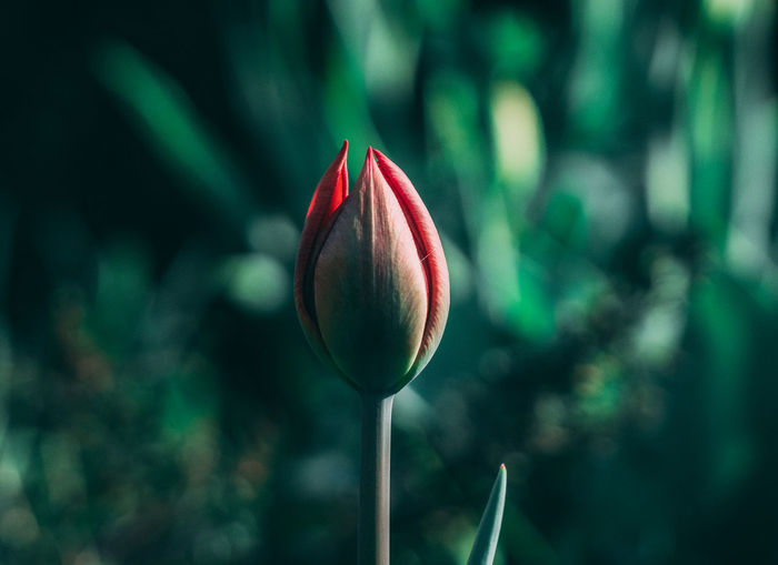 Close-up of red tulip bud