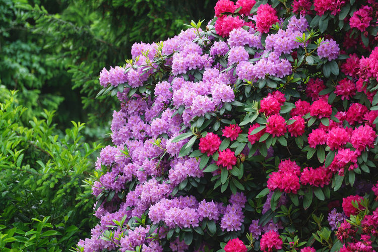 flowering Rhododendron bush Flowering Plant Flower Plant Vulnerability  Fragility Pink Color Growth Beauty In Nature Freshness Close-up Nature Day Botany Inflorescence Petal Flower Head Lilac Outdoors No People Plant Part Bunch Of Flowers Springtime Purple Spring Rhododendron