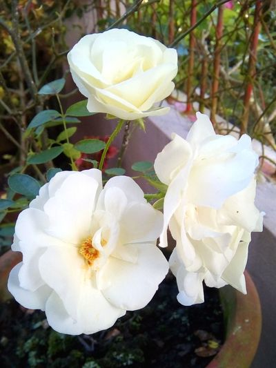 White Roses 🌹 Rose - Flower Roses White Rose Plant Plants Flower Head Flower Petal White Color Close-up Plant Plant Life Apple Blossom In Bloom Single Rose Stamen Wild Rose Wildflower Blossom Hibiscus Focus Springtime Rhododendron Pollen Botany Single Flower Twig Cosmos Flower Blooming Hydrangea