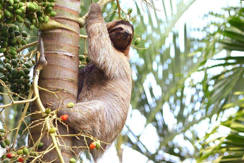 Lazy...... One Animal Animal Themes Tree Animals In The Wild Low Angle View Nature No People Animal Wildlife Wildlifephotography Wildlife Photography Wildlife & Nature Wildlife Wildlife And Nature Sloth Sloths Costa Rica Cahuita Middle America