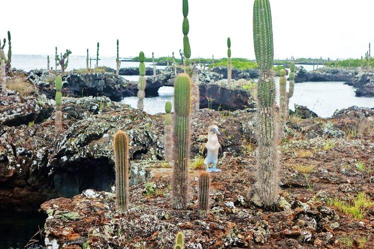 Bird Blue Footed Boobie Cactus Ecuador Formations Galapagos Isla Isabela Landscape Los Tuneles Nature Scenics Shore Travel Wildlife