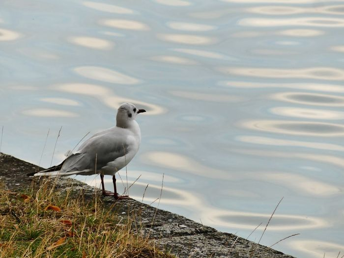 High angle view of seagull perching on rock by lake