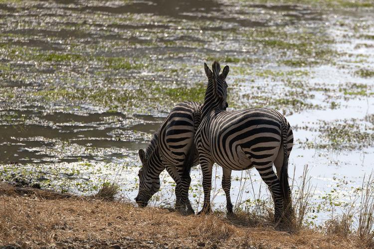Zebra standing on field by lake