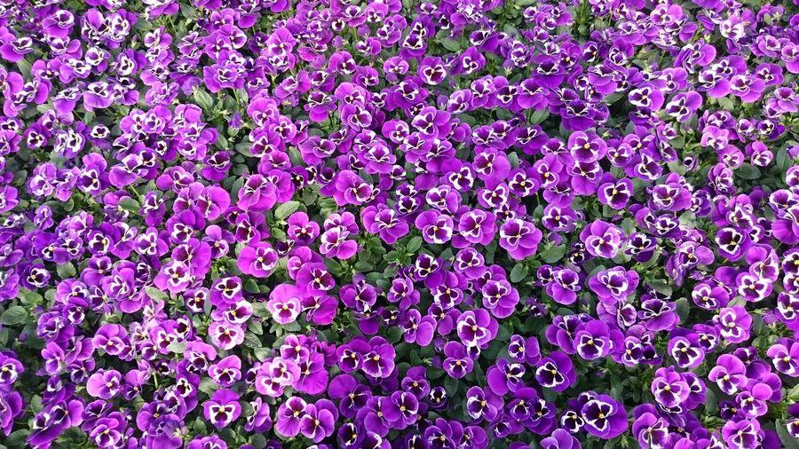 Full Frame Shot Of Purple Pansies Blooming On Field