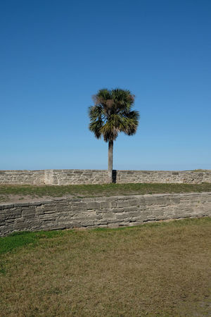 One lone palm tree in the center of the image, brick wall and blue skies with no clouds, no people room for copy space. Green grass, view from Castillo de San Marcos, St Augustine, Florida. Beauty In Nature Blue Castillo De San Marcos Clear Sky Day Fort Fortress Nature No People Outdoors Palm Tree Sky St Augustine St Augustine Florida St Augustine, FL Tree