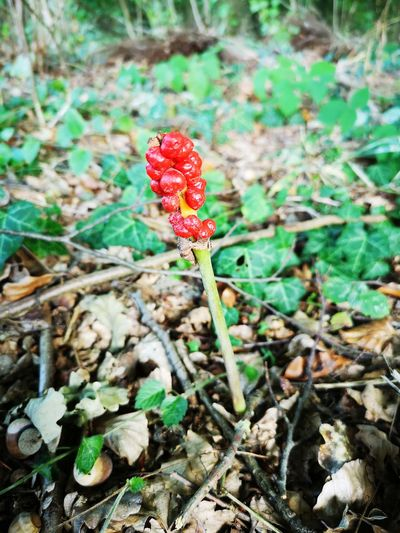 Beerenpflanze Red Fungus Leaf Close-up Plant Uncultivated Flora Vegetation Plant Life