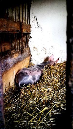 Pig Close-up Livestock