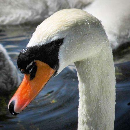 I Love Swans Swanlovers Eyemphotography EyeEm Best Edits EyeEm Best Shots EyeEm Gallery Here Belongs To Me EyeEm Nature Lover Swan Swantastic Swan Series Bigbird Bird Photography Swan Lake Picoftheday Eye4photography  EyeEm Young Swan