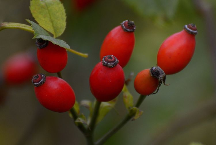 A Beauty In Nature Close-up Focus On Foreground Food Nature Plant Rose Hip