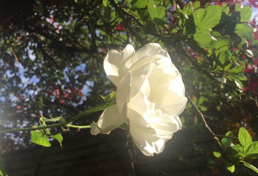 White Rose Garden Flowers,Plants & Garden Garden Photography Rose Tree Sunshine