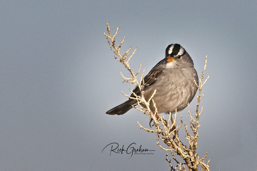 White-crowned Sparrow White-crowned Sparrow Sparrow Bird Perching Animals In The Wild One Animal Animal Wildlife Animal Themes Nature No People Branch Outdoors Beauty In Nature