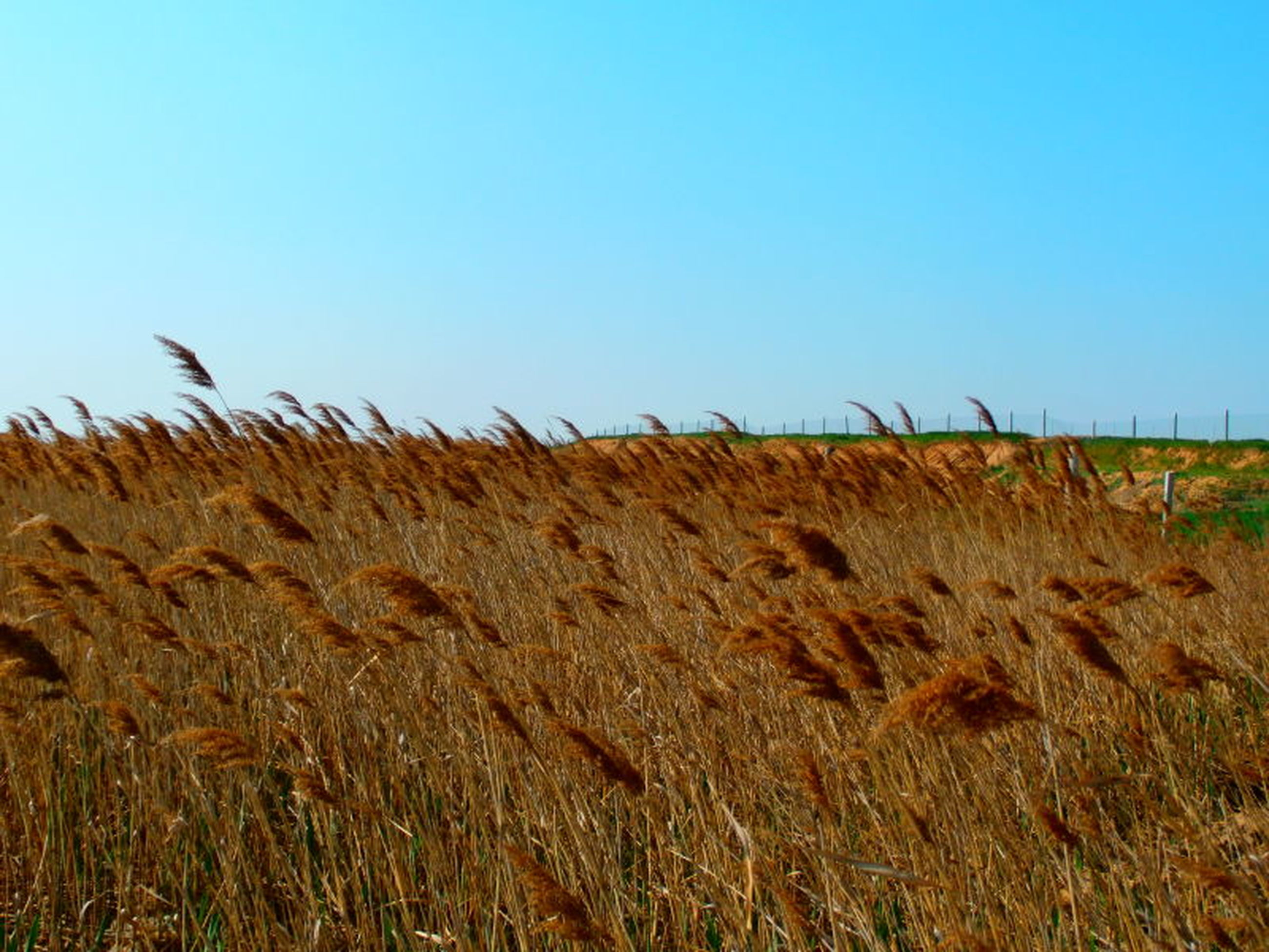 clear sky, copy space, field, grass, blue, landscape, tranquility, tranquil scene, nature, dry, growth, rural scene, agriculture, plant, beauty in nature, scenics, horizon over land, cereal plant, day, crop