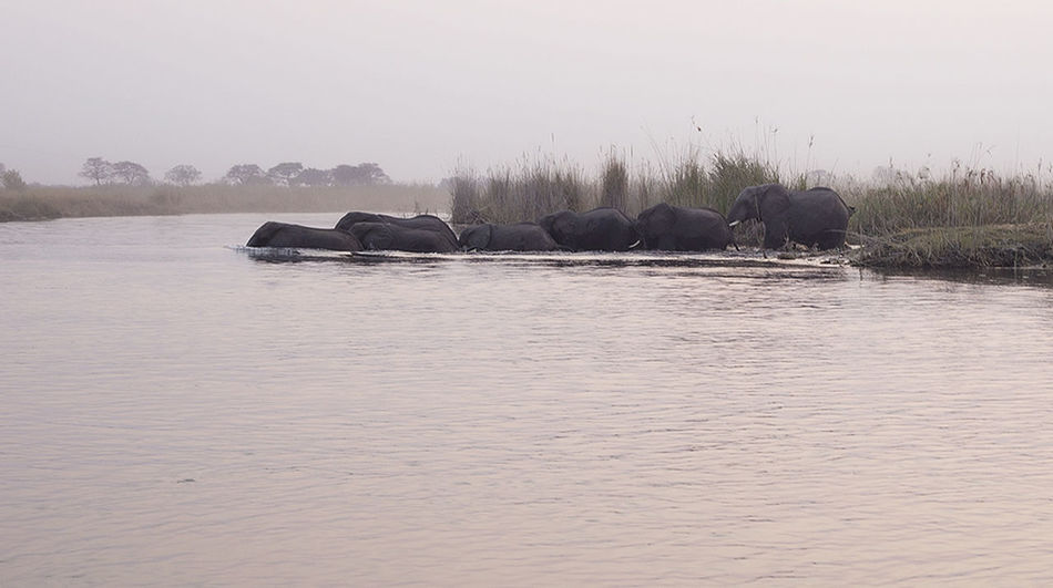 Africa Crossing Dawn Elephant Endangered Species Ivory Remote River