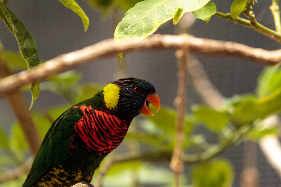 Rainbow lorikeet called Trichoglossus moluccanus perches on a branch in Australia Lorikeet Bird Trichoglossus Moluccanus Animal Themes Animals In The Wild Avian Beauty In Nature Bird Birds Close-up Day Lorikeet Nature No People One Animal Outdoors Pet Rainbow Lorikeet Rainbow Lorikeets Wildbird