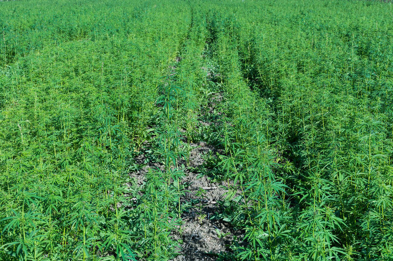 Agriculture Agriculture Farm Cannabis Marijuana Plant NarcoticosAnonimos Therapeutic Therapeutic Visions Agriculture Photography Cannabaceae Cannabis - Narcotic Cannabis Culture Cannabis Plant Hashish Marijuana Marijuana - Herbal Cannabis Marijuana Is Not A Drug, It's An Herb. Marijuana Photography Marıjuana Medical Marijuana Narcotic Narcotics Anonymous Therapeutic Photography Therapeutic Touch Therapeutic Walk In The Forest