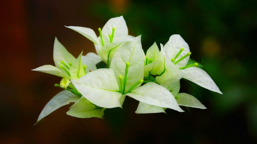 Beauty In Nature Flower Plant Close-up Petal Growth Freshness Leaf Plant Part Flower Head Nature Inflorescence White Color Green Color Flowering Plant Wildlife & Nature Forest Art Wallpaper Beauty In Nature Texture Pattern Backgrounds Fresh EyeEm Nature Lover