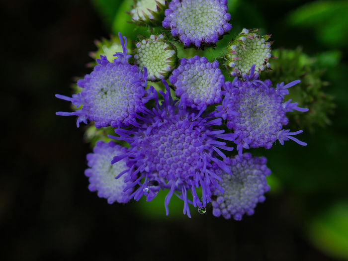 Ageratum Houstonianum Beauty In Nature Blau Close-up Day Flower Flower Head Focus On Foreground Fragility Freshness Growth Nature No People Outdoors Petal Plant Purple